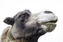 Wild dromedary Royalty Free Stock Photos