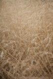 Wild droog gras in de recente zomer Royalty-vrije Stock Afbeelding