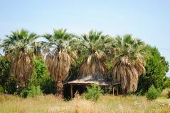 Wild dry palms Stock Image