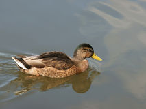 Wild duck. The wild duck, is photographed on lake Royalty Free Stock Image