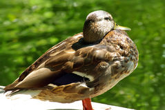 Wild duck. Looking for companion Stock Image