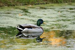 Wild duck. Swimming in a pond Stock Photo