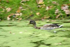 Wild duck. Swimming in a pond Stock Image