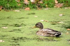 Wild duck. Swimming in a pond Royalty Free Stock Photography