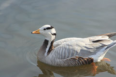 Wild duck. In the water Stock Photo