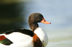 Wild duck. On a pond Dombes Stock Images