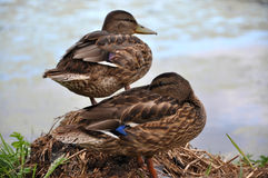 Wild duck Stock Images