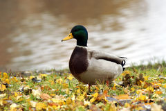 Wild Duck Stock Image