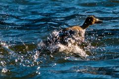 Wild duck. Taking off from water Royalty Free Stock Images