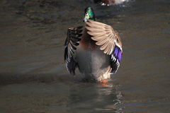 Wild duck. The male of wild duck standing in water Stock Images
