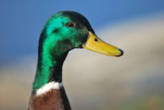 Wild duck. Head of wild duck (male royalty free stock images