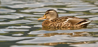 A wild duck. In the water Royalty Free Stock Photos