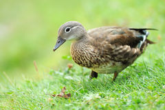 Wild duck. Cute wild duck on a green juicy grass Stock Image