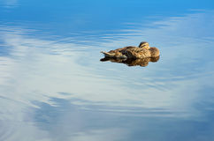 Wild Duck. Stock Photography