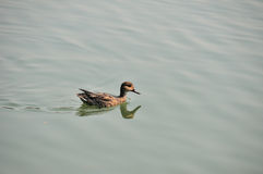 Wild Duck Royalty Free Stock Image