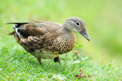 Wild duck. Wild helmet on green grass blurred background Stock Image