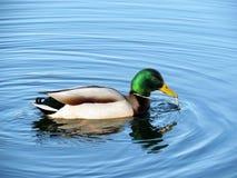 Free Wild Duck Stock Photo - 39394700