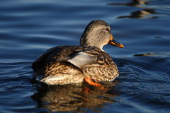 Wild duck. The wild duck is seeking its lover royalty free stock images