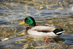 Wild duck. A male of wild duck in a water Royalty Free Stock Image