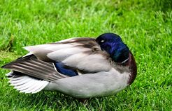 Wild duck Royalty Free Stock Photo