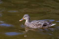 Free Wild Duck Royalty Free Stock Images - 87684369