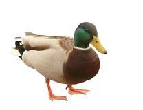 Free Wild Duck Royalty Free Stock Photo - 9591815