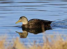 Wild Duck American Black Duck Stock Photos