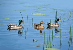 Duck floating in the lake. Wild duck Anas plathyrhynchos family floating in the lake stock photos