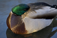Wild Duck (Anas platyrhynchos),. Sleeping on lake in central Park, New York city Stock Images