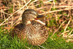 Wild Duck (Anas platyrhynchos) Stock Photos
