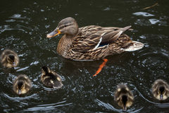 Wild duck (Anas platyrhynchos). Wild duck (Anas platyrhynchos), also known as the mallard. Female duck with ducklings. Wildlife animal Stock Photography