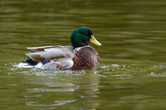 Wild duck or Anas platyrhynchos. Stock Image