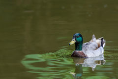 Wild duck or Anas platyrhynchos. Royalty Free Stock Image