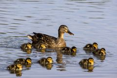 Wild duck Anas platyrhynchos family. Is swimming in the lake water stock photography