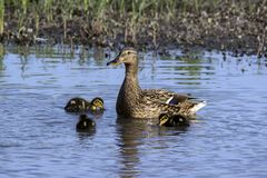 Wild duck Anas platyrhynchos family. Is swimming in the lake water stock photo