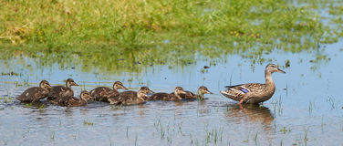 Wild duck (Anas platyrhynchos). Female wild duck with all her ducklings in their habitat Stock Image