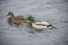 Wild Duck (Anas platyrhynchos) female (left) and male (right). Image is shot at the Tista river in Halden, Norway one day in January 2014 Stock Image