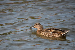 Wild duck or Anas platyrhynchos Stock Photography