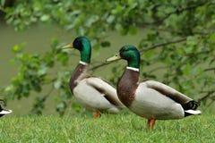 Wild duck (Anas platyrhynchos). Male Mallard or wild duck (Anas platyrhynchos Royalty Free Stock Photos