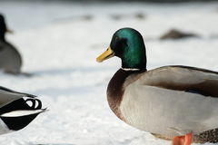 Wild duck Anas platyrhynchos Royalty Free Stock Photography