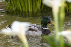 Wild duck, Anas platyrhynchos Royalty Free Stock Images