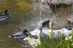 Wild duck, Anas platyrhynchos. Swimming in a pond. Photo taken in the Garden of Cecilio Rodriguez, Retiro Park, Madrid, Spain Stock Photo
