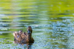 Wild duck or Anas platyrhynchos swimming in the water of lake. Wild duck or Anas platyrhynchos swimming in the water of lake Royalty Free Stock Images