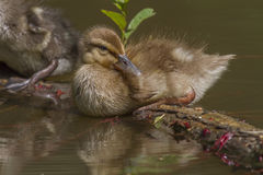 Wild duck (Anas platyrhynchos). Young wild dukc on the water Royalty Free Stock Images