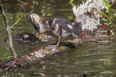 Wild duck (Anas platyrhynchos). Young wild duck on the water Royalty Free Stock Photo