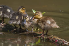Wild duck (Anas platyrhynchos). Young wild duck on the water Royalty Free Stock Photos