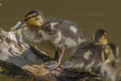 Wild duck (Anas platyrhynchos). Young wild duck on the water Stock Image