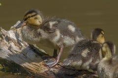 Wild duck (Anas platyrhynchos) Stock Image