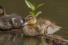 Wild duck (Anas platyrhynchos). Young wild duck on the water Royalty Free Stock Photography