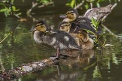 Wild duck (Anas platyrhynchos) Stock Photos